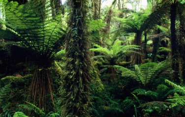 Westland National Park - Native forest interior with tree ferns South Island, New Zealand
